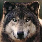Wolf Totem: Friendly, loyal, sense of family, spirit of freedom, individuality, teacher, pathfinder, strength, confidence, wild. Message: Healing