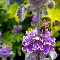 Marrubium supinum - pronounced mar-roo-BEE-um. #bees #floweroftheday