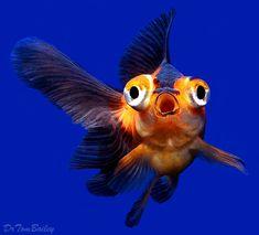 Telescope Goldfish for Sale - AquariumFish.net