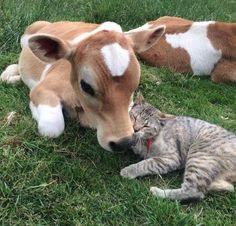 Cow. Calf. Cat. Friendship. Friends. Best friends