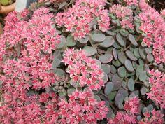 Pack x3 Sedum 'Rose Carpet' Perennial Supersize XXL Plug Plants #Plugplantsnet