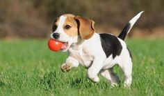 Are you interested in a Beagle? Well, the Beagle is one of the few popular dogs that will adapt much faster to any home. Cute Beagles, Cute Puppies, Cute Dogs, Dogs And Puppies, Funny Dogs, Begal Puppies, Toy Puppies, Beagle Puppy, New Puppy