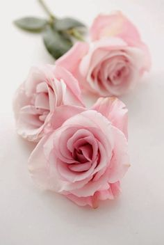 Pretty Pink Roses ~