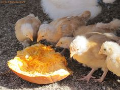 Chicks are tiny and treats will replace a percentage of the nutrition in starter ration that their rapidly-growing bodies require. Common se...