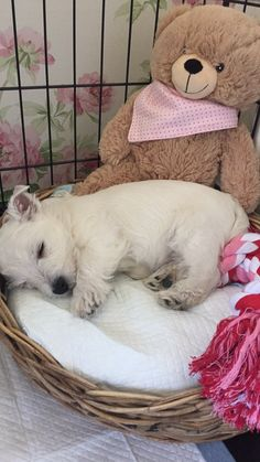 Westie Puppies, Westies, Cute Puppies, Cute Dogs, Doggies, World Cutest Dog, Cutest Dog Ever, Cutest Thing Ever, Animals And Pets
