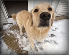 Duncan is a beautiful golden retriever. He's still young, only around 3 yrs. old. He's a really good boy. You can't go wrong with a golden. Over all, a wonderful breed if you can get past the hair on your clothes. ;) His family is away for the holida I love Golden retrievers