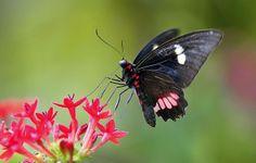 True Cattleheart Butterfly in flight feeding on Pentas Lanceolata Flowers, Wings of the Tropics, Fairchild Tropical Botanic Garden.
