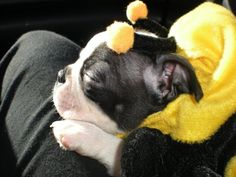 Happy Halloween from Kuna the Boston Terrier puppy in St-Louis, Missouri, United States. Sleeping and wearing a Bumble Bee costume for halloween! Dog Halloween Costumes, Pet Costumes, Happy Halloween, Boston Terrier Love, Boston Terriers, Terrier Dogs, I Love Dogs, Puppy Love, Dogs And Puppies