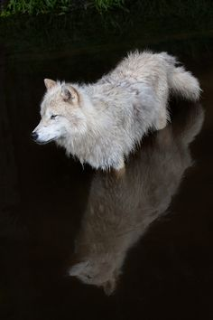 An arctic wolf stays cool in a small pond.