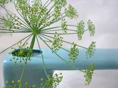 Looking forward to Dill season again, aren't you? Amazing to eat and Amazing to photograph.