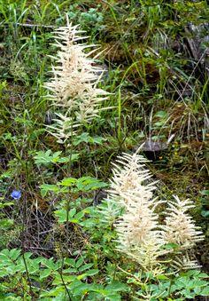 Tentokrát moju zvedavosť pritiahol horský kvietok – no teda, ak sa kvietkom dá nazvať niečo, čo dorastie do dvoch metrov a má tomu primerané meno – udatník. Udatník lesný (Aruncus Sylv… Plants, Plant, Planting, Planets