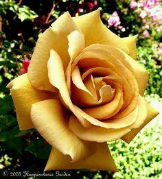 'Butterscotch' Rose♡