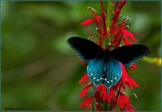 A Pipevine Swallowtail feeding on a Cardinal Flower in Cades Cove. Photo courtesy of Brian Shults Photography Cades Cove, Mountain Vacations, Blue Butterfly, Beautiful Butterflies, Wild Flowers, Bugs, National Parks, Creatures, Gallery