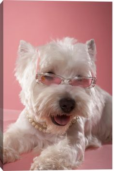 West Highland Terrier Wearing Necklace And Glasses by Chris Amaral