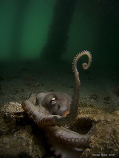 Is this octopus waving hello or complaining that the photographer disturbed him? Do octopi sleep? do they mind being bothered?