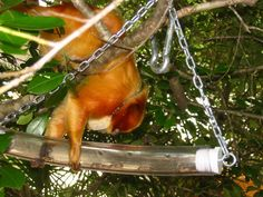 Play the Animal Way is Saturday, September 28. Wonder what the Enrichment Team has planned for this year? (Here, a golden lion tamarin tries to get the goods out of a puzzle feeder.) Animals throughout the Zoo will walk into habitats full of fun surprises on Saturday -- be there when they do!  this is a great idea for the DM...pick a slow month and make an enrichment event. Kids can design/build enrichment at stations too.