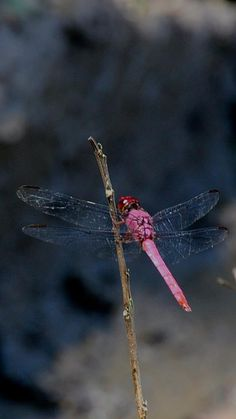 Beautiful pink dragonfly