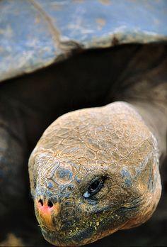 Galapagos, tortoise portrait   by Vittorio Ricci