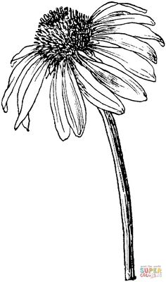 Echinacea purpurea or Purple coneflower coloring page | SuperColoring.com