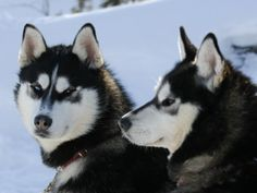 Siberian Husky Sled Dogs Pair in Snow, Northwest Territories, Canada March 2007 Premium Poster