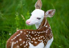 A rare white-faced fawn