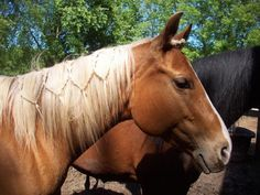 Simple but pretty braided horse mane! Horses And Dogs, Wild Horses, Types Of Horses, Show Horses, Horse Mane Braids, Horse Hair Braiding, All The Pretty Horses, Beautiful Horses, Horse Clipping
