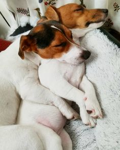 "103 Likes, 3 Comments - Jack Russell (@jackrussell.tv) on Instagram: ""Daily dose of cuteness! Follow To be featured Credit: @oliviaysararussell2016 From…"""