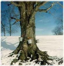 :) Sugar maple tree with bucket attached to collect the maple sap from which maple syrup is made. Maple Syrup Tree, Maple Tree, Sunday Pictures, Sunday Pics, Sugar Bush, America City, Farmer's Daughter, State Of Michigan, Nature Plants