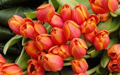 arreglo de flores de tulipán fondo de pantalla