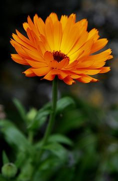 Pot Marigold - Calendula officinalis ... these are a wonderful bright addition to your perennials but watch them...they self-seed readily and can take over if not controlled...deadhead them often.