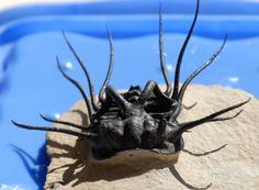 Dicranurus monstrosus: ORDER LICHIDA, Superfamily Odontopleuroidea, Family Odontopleuridae.