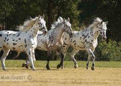 appaloosa horses :: Three rare Knabstrubber mares
