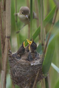 Reed Warbler by Adochka