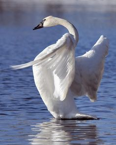 swans flapping - Google Search