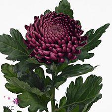 Chrysant sgl. bigoudi purple
