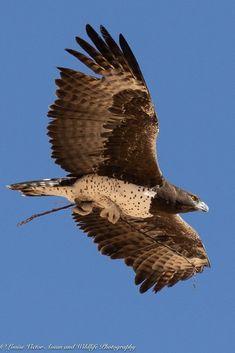 Raptor Bird Of Prey, Birds Of Prey, Hawk Species, Bird Wings, Cute Birds, Domestic Cat, Underwater World, Rodents, Raptors