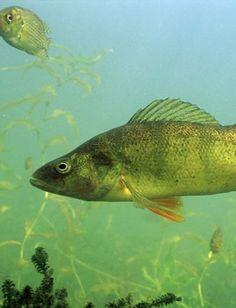 1000 images about yellow perch on pinterest yellow for Yellow perch fishing secrets