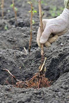 A white gloved hand plants bare root raspberry canes in holes dug in dark brown soil in the garden. Raspberry Canes, Raspberry Bush, Veg Garden, Fruit Garden, Vegetable Gardening, Green Garden, Gardening For Beginners, Gardening Tips, Flower Gardening