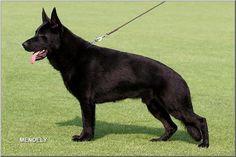 German Shepherd Dog, Black - V Bomber vom Wolfsheim | pedigreedatabase.com