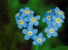Forget-me-not! Delicate and beautiful yet bold and commanding! :) A very sentimental flower to have in your garden, or to come back in your container gardens as they are a perennial! These are especially appreciated if given by a precious loved one to always remember them and your friendship/love by! <3 <3 <3