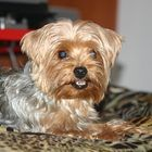 Items to Buy for a Yorkie Puppy - Pets