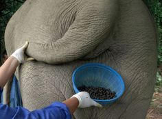 El Café Marfil Negro se produce con los granos que extrae de las heces del elefante. El proceso se lleva acabo en Tailandia, donde una manada de 20 elefantes es alimentada con granos de café