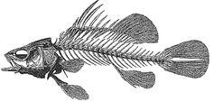 Squelette poisson