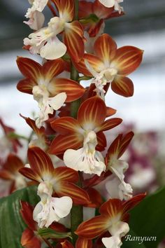 Newly-bloomed Spring Calanthe Orchid