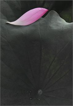 Lotus Petal / lotus petals / by Bahman Farzad, via Flickr