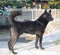 The Kai Dog was bred in 18th-century Japan for hunting large game.  It is comfortable in urban environments and handles cold well, but it is really a one-person dog.  The Kai requires frequent grooming, does not get along well with other animals, and is guarded about its space.