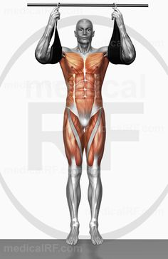 High-end medical image : The muscles involved in performing hanging leg raises. The agonist (active) and stabilizer muscles are highlighted. Pull Up Workout, Oblique Workout, Six Pack Abs Workout, The Agonist, Exercise Images, Hanging Leg Raises, Bodybuilding, Perfect Body, Fitness Inspiration