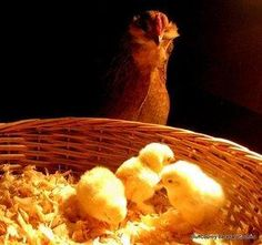 9 steps for raising chicks ... it's chick time!!! | Living the Country Life | http://www.livingthecountrylife.com/animals/poultry/9-steps-for-raising-chicks/