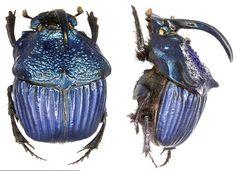 Phanaeus amethystinus guatemalensis - This species of beetle is of the family Scarabaeidae - Image : © Dr U Schmidt 2006