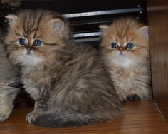 Persian Kittens and like OMG! get some yourself some pawtastic adorable cat shirts, cat socks, and other cat apparel by tapping the pin! Teacup Persian Cats, Persian Cat Doll Face, Persian Kittens For Sale, Kittens And Puppies, Baby Kittens For Sale, Cats And Kittens, Pics Of Cute Cats, I Love Cats, Beautiful Cats